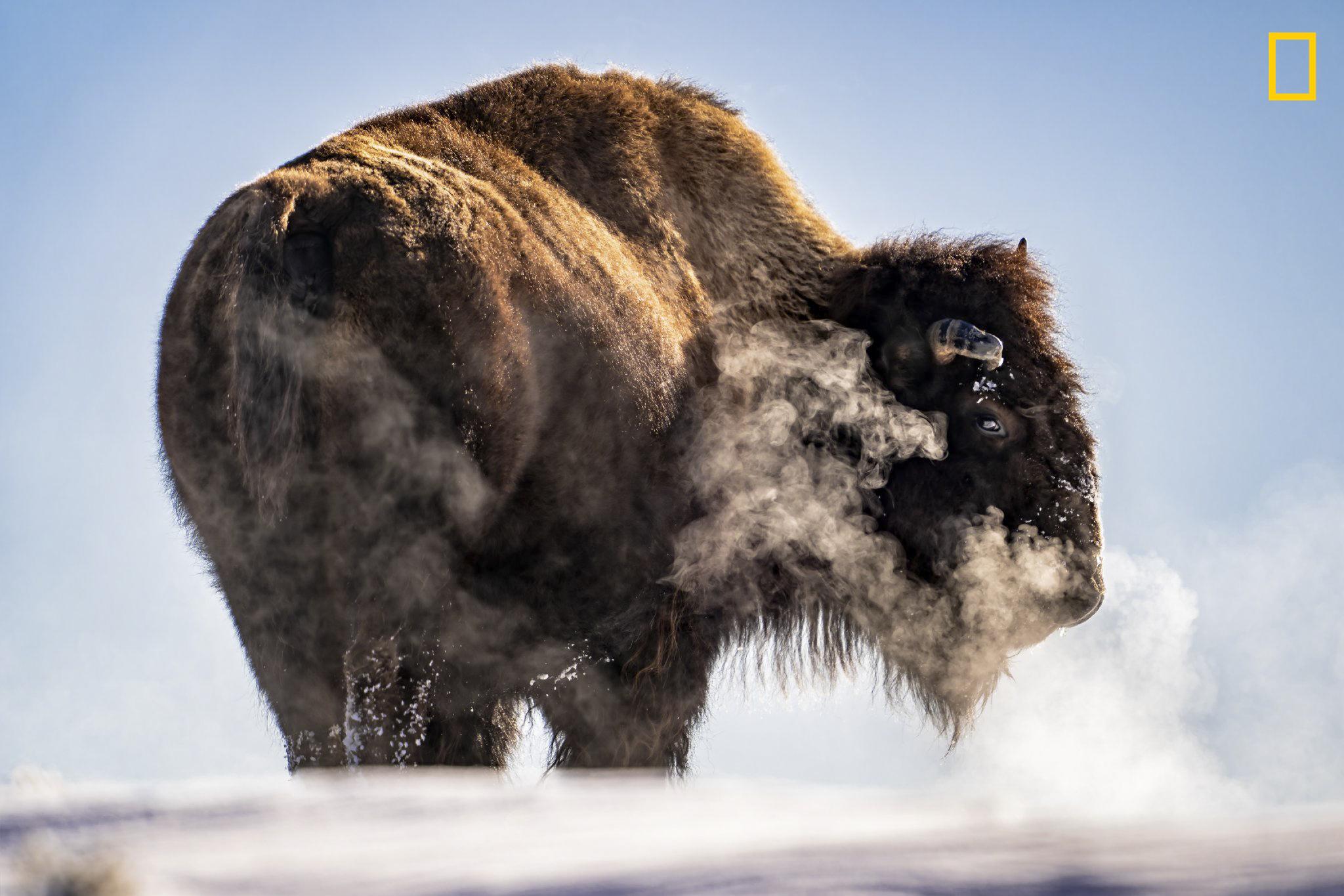 Image result for bison