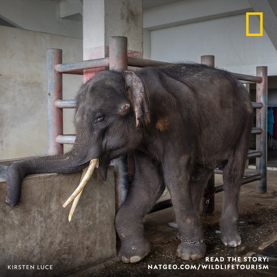 An elephant is shackled to a pole while blood oozes from his temple and his right foreleg is swollen