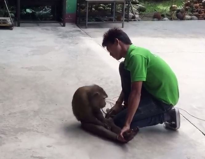 This monkey is rocking itself back and forth while chained as a man holds it down