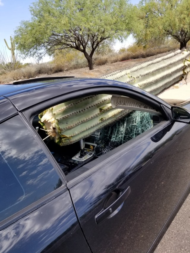 The tree-like trunk of the cactus seen wedged between the driver and front passengers seats