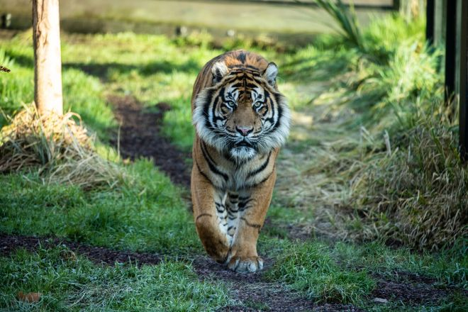 There are more peers in the House of Lords than there are Sumatran tigers left in the world