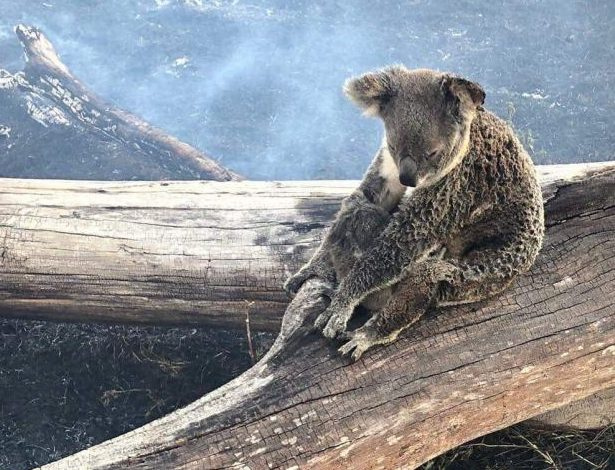 The koala was spotted shielding its baby from smoke on a fallen tree in blaze-hit Canungra, on the Gold Coast.