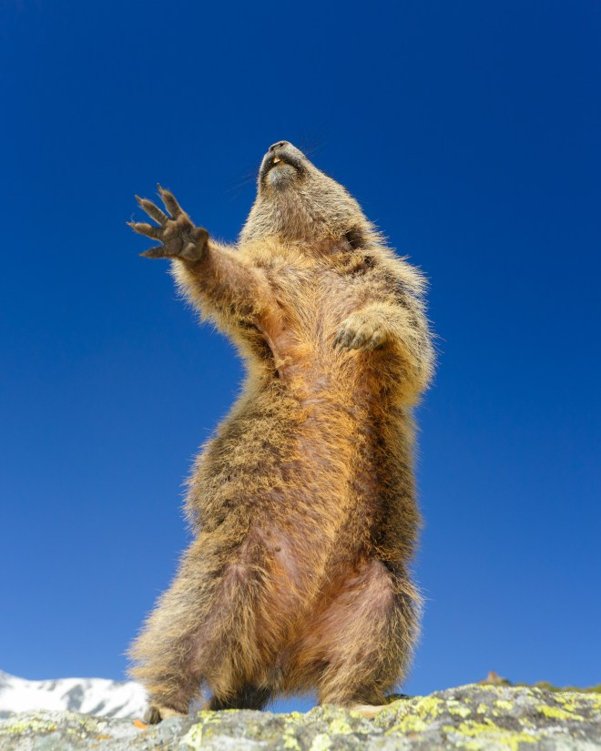 This Marmot is having none of it