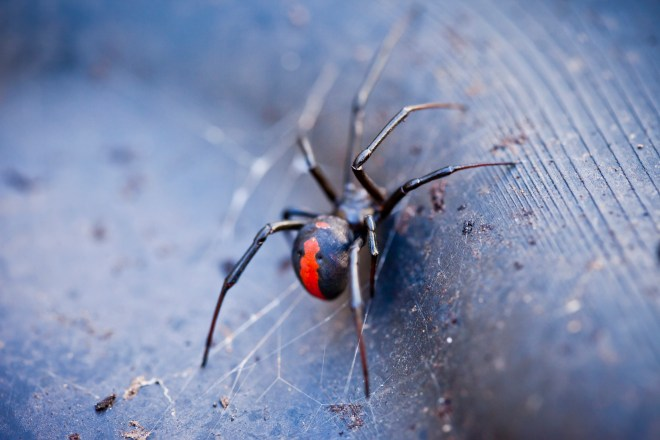 Redbacks are now found all over the world - including in the UK