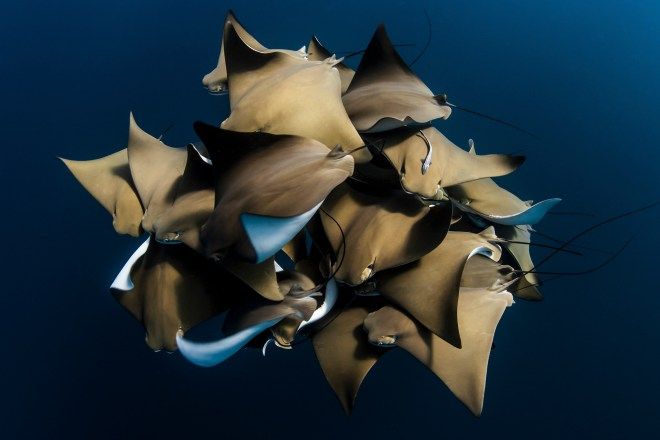 Third place in the water category is this images showing rays in Ningaloo Reef, Western Australia
