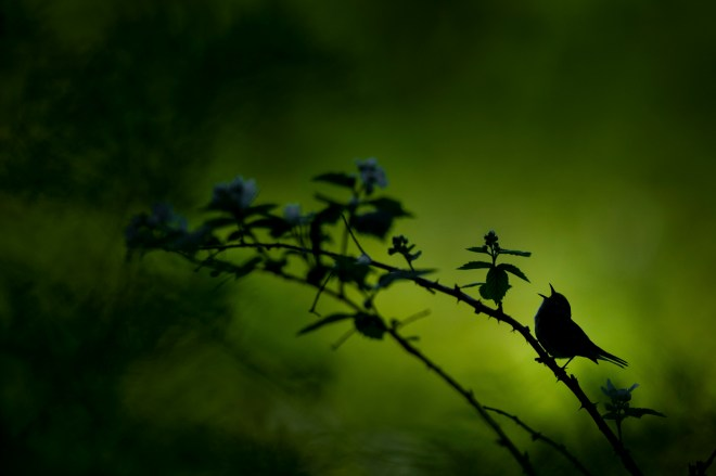 A Chestnut-sided Warbler sings out while silhouetted against the bright forest in the background
