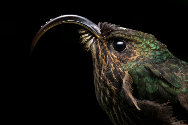 A White-Tipped Sicklebill stand completely still as hummingbirds lower their metabolism during night time to avoid starvation