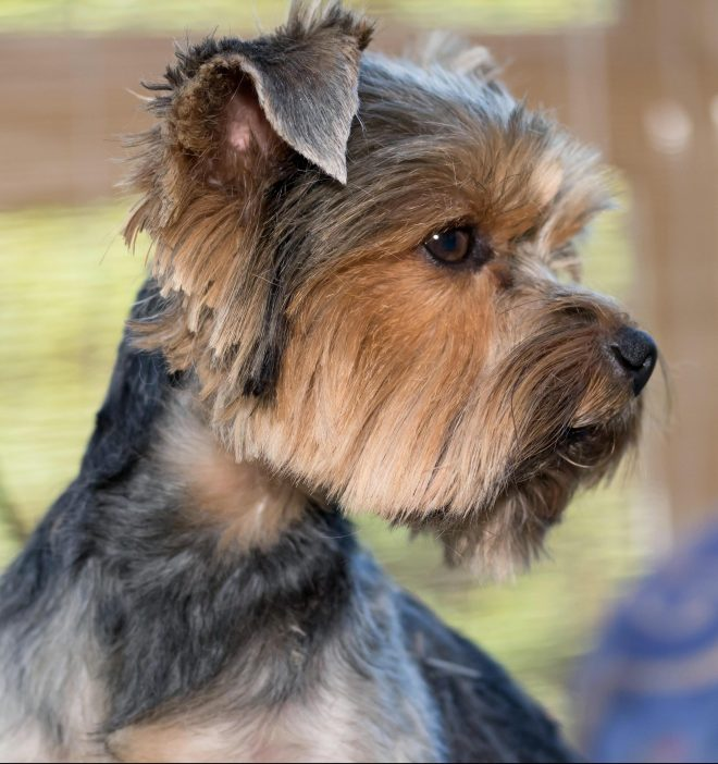 The Yorkie looked more like a Yorkshire terrier