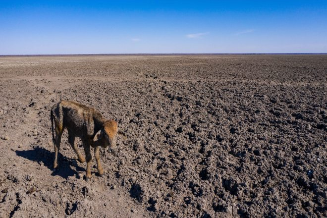 A malnourished cow stands bow-legged on an arid plain