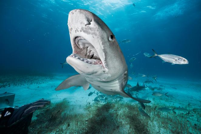 Tiger sharks have a record second only to Great White sharks for attacks on humans