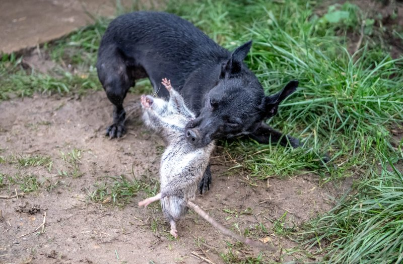 It's the biggest haul of vermin ever terminated by the Suffolk and Norfolk Rat Pack who offer a free-of-charge pest control service in the South East