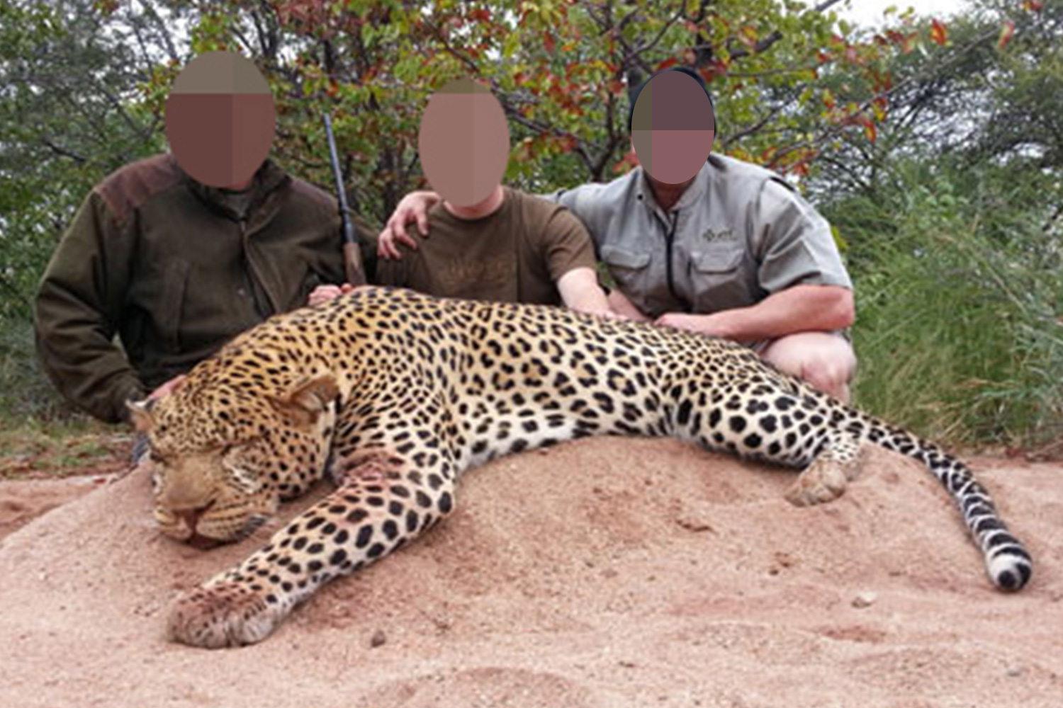 Killed for Fun – Evil trophy hunters 'Pay thousands to have leopards kneecapped to make them easier to hunt'
