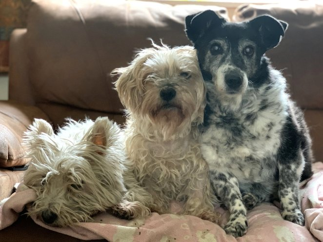 Queenie shares her home with two other old terriers - Bonnie, 10 and Bo, 12