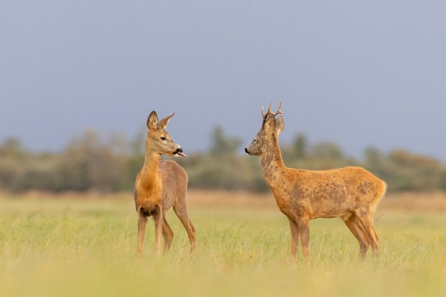 Alvin Tarkmees took this picture of two Roebuck Deer in Estonia appearing to be deep in conversation