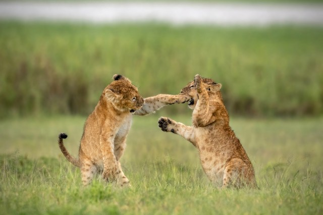 This picture by Yarin Klein captured the moment one lion club seemed to bite off more than he could chew