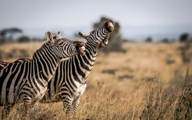 Tanvir Ali saw the funny side when he spotted these zebras in the Nairobi National Park, Kenya