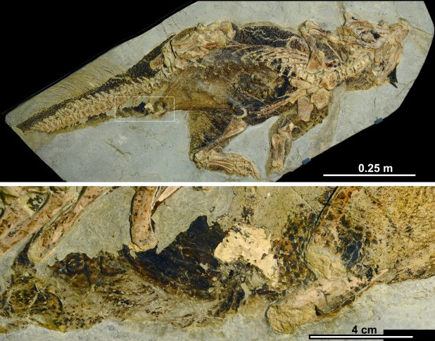 The discovery comes from the remains of a primitive relative of the legendary Triceraptops