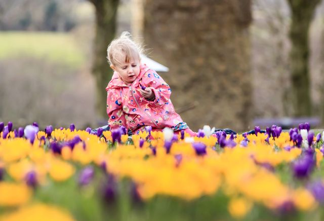 Seraphina Cawthorne enjoys the crocuses blooming at Knaresborough Castle in Yorkshire