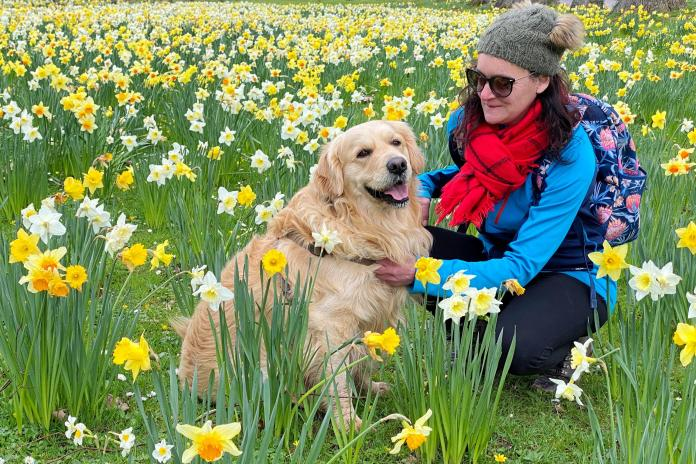 A walker and her dog enjoy the daffodils and warm weather in Powderham in Devon