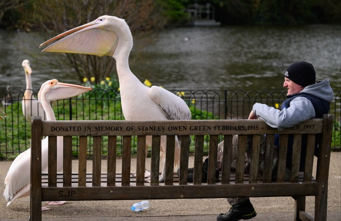 A Great White Pelican at St James' Park in London.