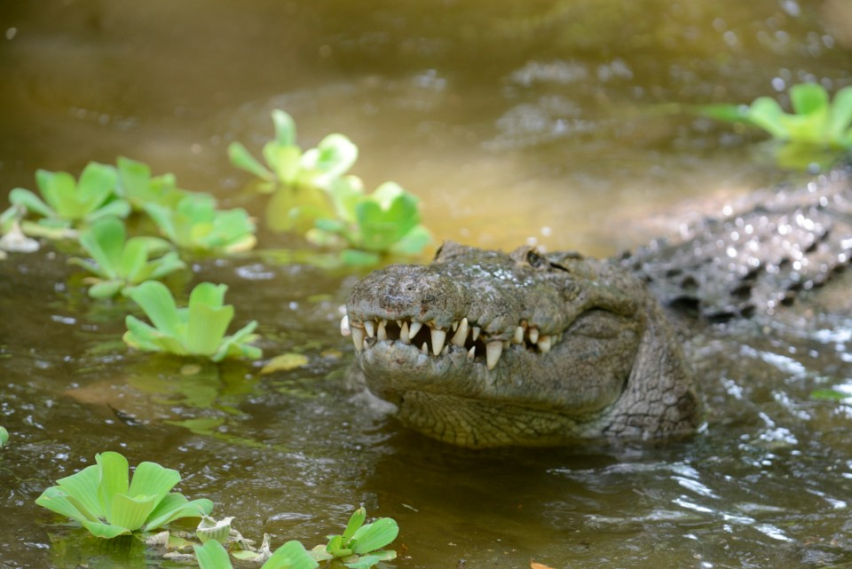 Swimmers who visit the Manialtepec Lagoon are warned that there are crocodiles that can grow up to ten feet long
