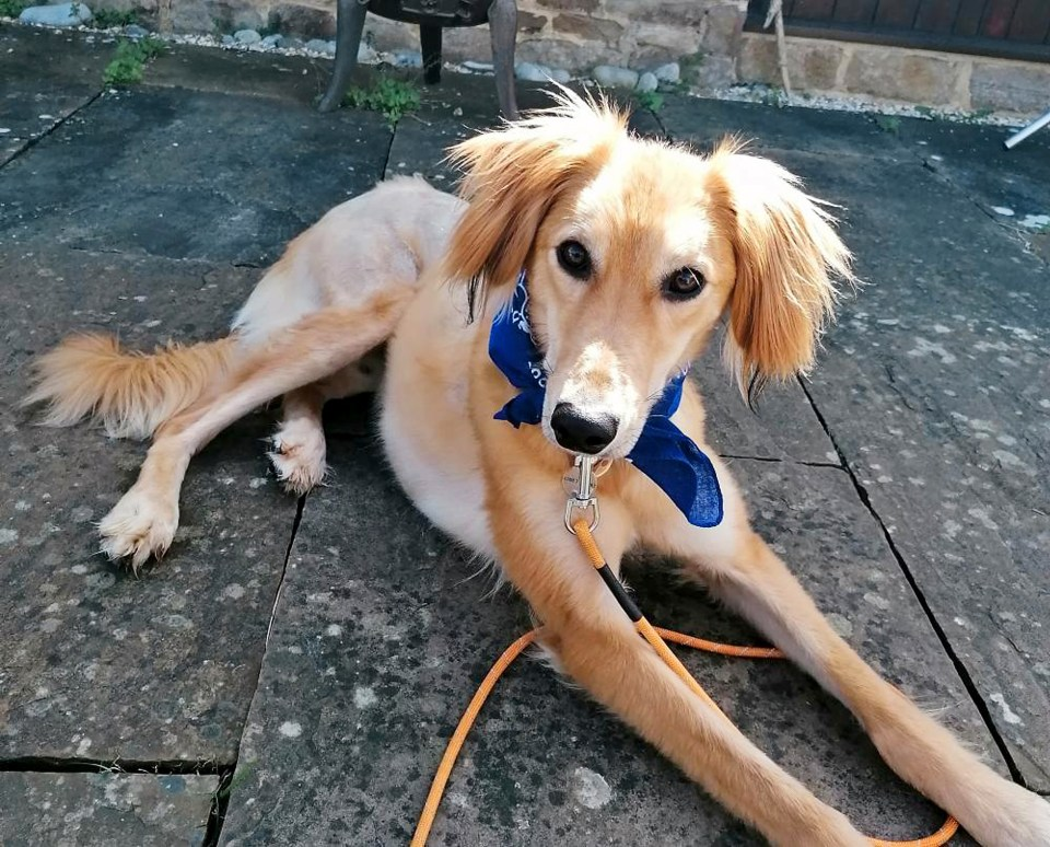 Saluki Wizard nearly died on the streets, but after being adopted he helped his new owners cope in lockdown