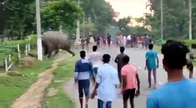 The enraged elephant trampled the man to death