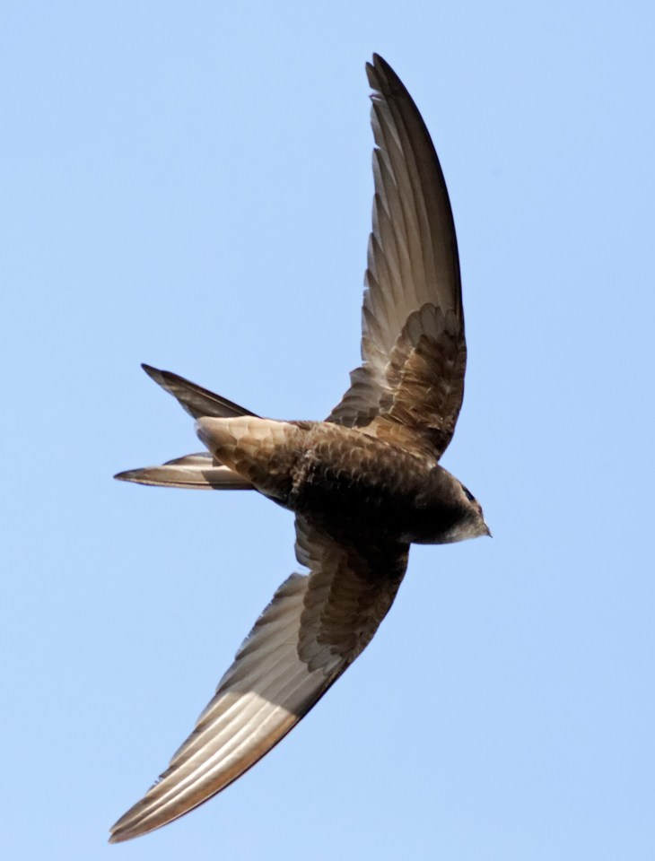 The swifts were out in force at Ellis Park as they nose-dived down to the pitch and around the stadium