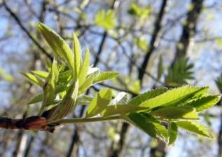 Rowan leaves opening
