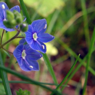 Veronica or Speedwell
