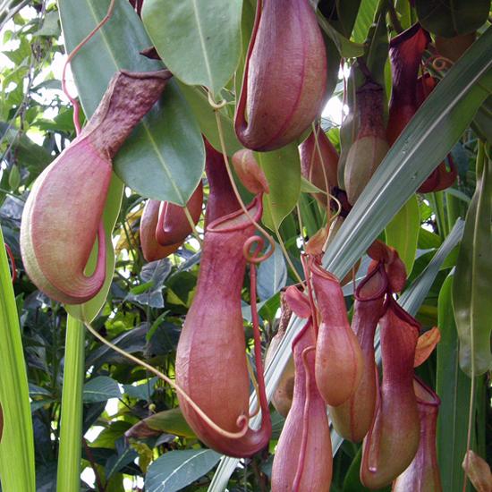 Kew's Pitcher Plant