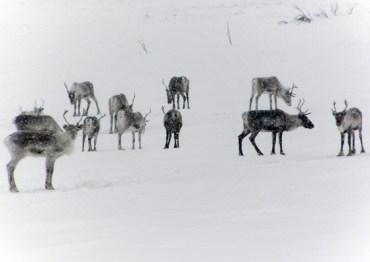 The reindeer 2 - watchful