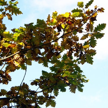 Autumn oak leaves agains the sky