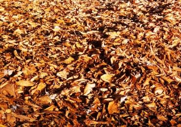 A drift of fallen beech leaves in the morning sun