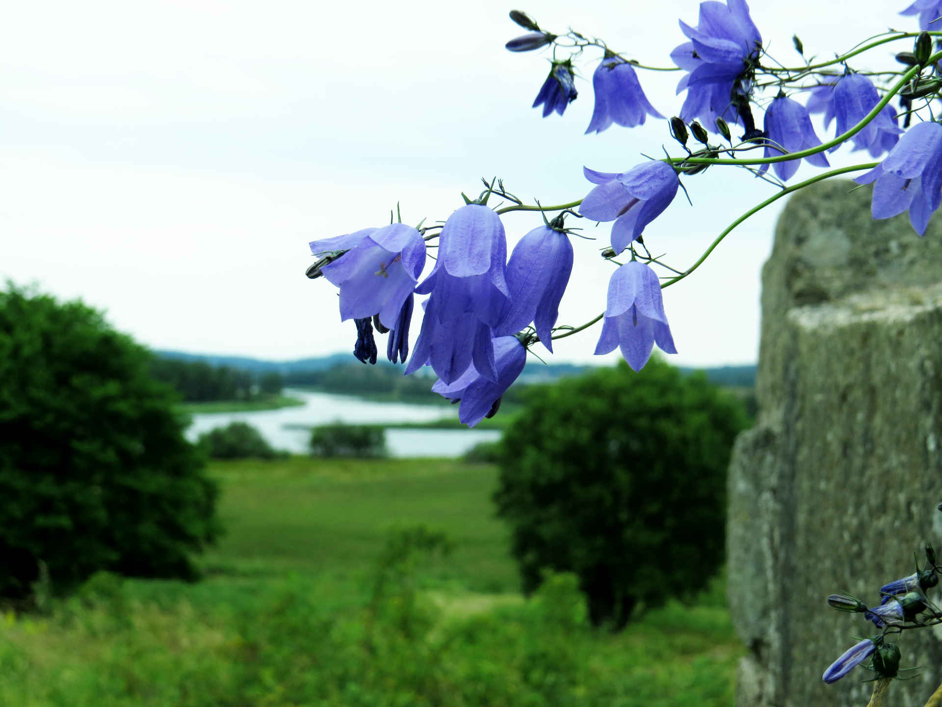 Harebells at Ragnhildsholmen