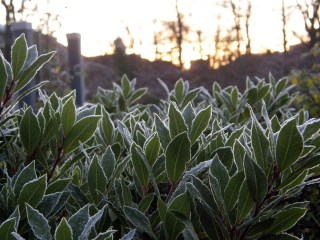 Frosted bayleaves