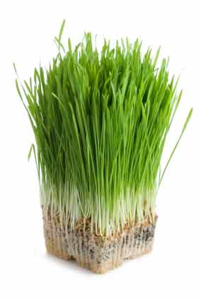 https://i1.wp.com/www.thesuperfoods.net/sites/default/files/wheatgrass/wheatgrass.jpg