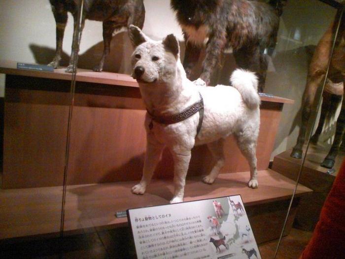 Hachiko in het Museum. Foto door Secret Agent Moof.