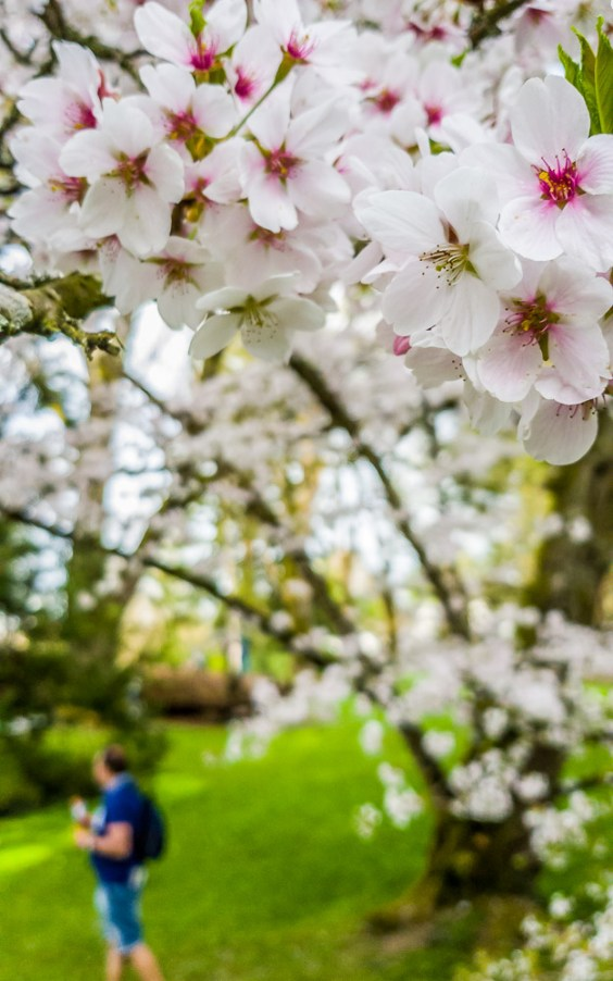 Cherry Blossoms at Mainau Island