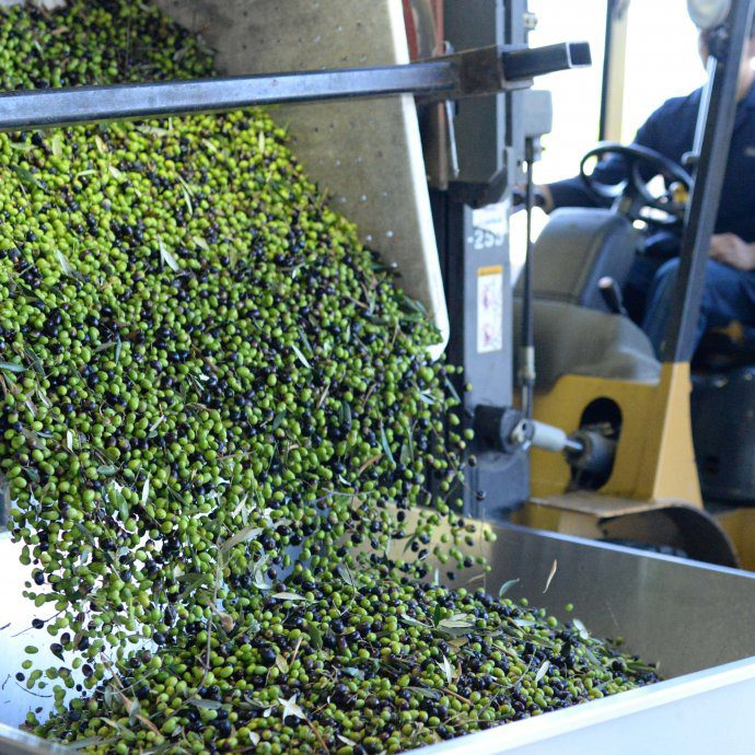round pond olives being forklifted into mill