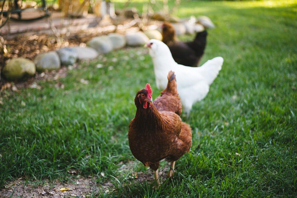 The Golden Girls flock of chickens running around the yard at Liquid Farm Winery