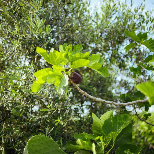 Figs in Puglia