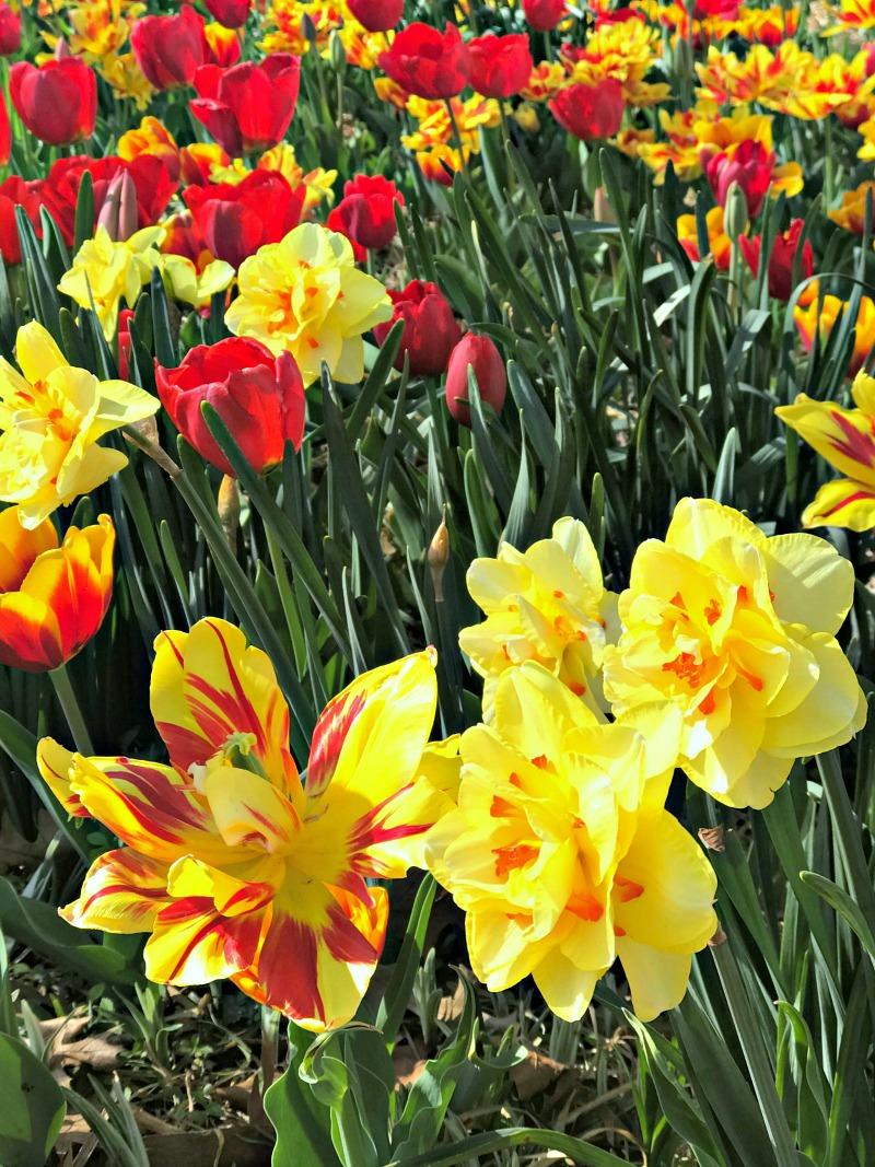 Myriad Gardens tulips