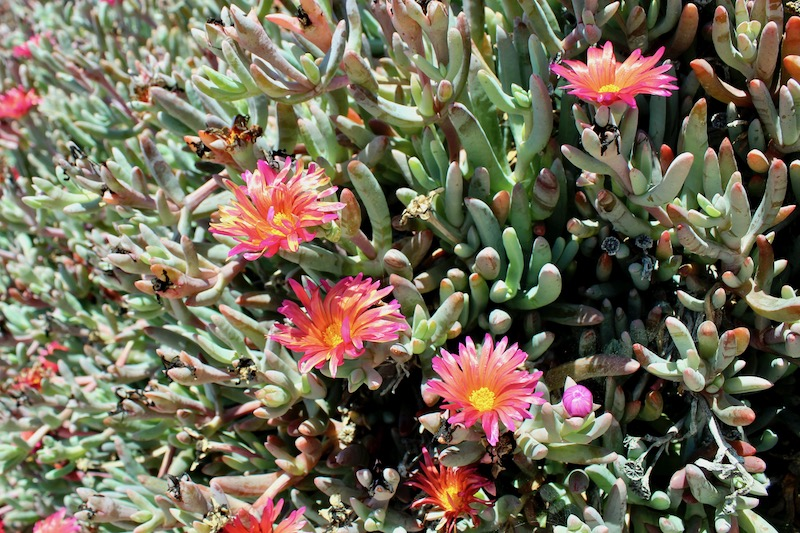ice plant at abalone cove