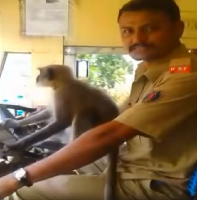 The bus driver had about 30 people on board when he allowed the monkey, the pet of a regular passenger, to jump on his lap and then on to the steering wheel