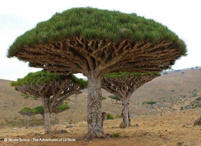 Nicki with a Dragon blood tree. Homhil protected area.