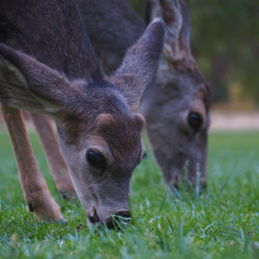 Deer in front of the Zion Lodge, Zion National Park, Utah