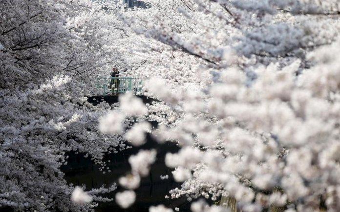 Ολάνθιστες κερασιές στο Τόκυο