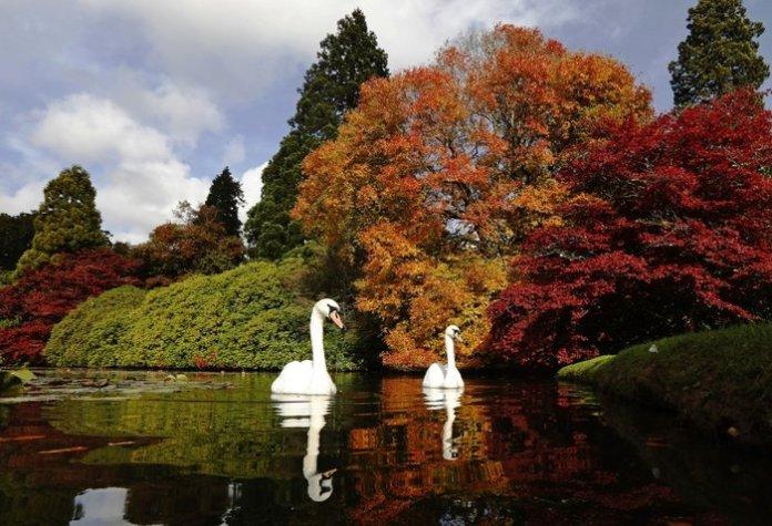 Κύκνοι ρεμβάζουν με φόντο τις φθινοπωρινές φυλωσιές στη Νότιο Αγγλία