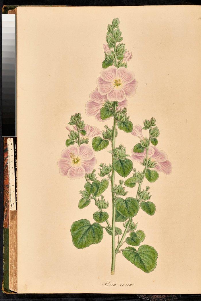 Alcea rosea Αλκέα, ή αλθαία, ή δεντρομολόχα, Flora Graeca, σ. 57, τ. 7.
